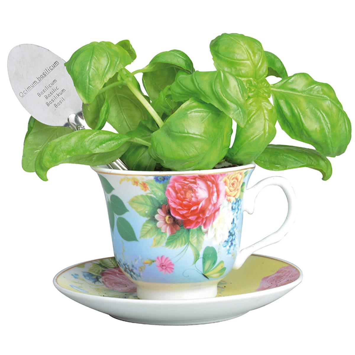 "Anzuchtset ""Teetasse"" mit Basilikum"
