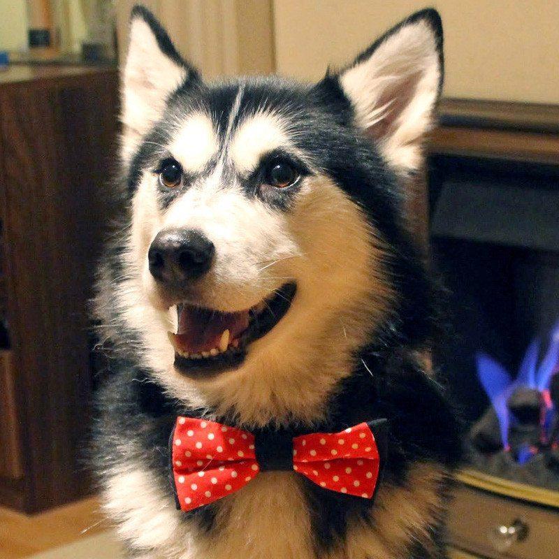 Pajarita para mascotas | Un original regalo para tu mascota
