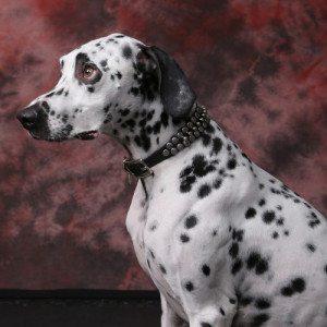 Sesión fotográfica en estudio para mascotas - Oviedo